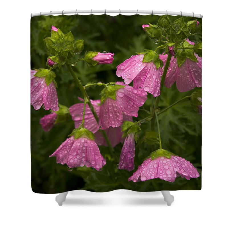 Wildflowers Shower Curtain featuring the photograph Musk-mallows Refreshed by Irwin Barrett