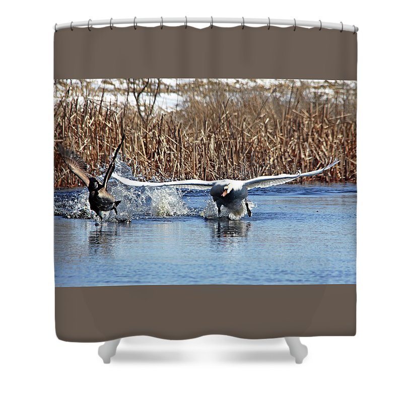 Mute Swan Shower Curtain featuring the photograph Mute Swan Chasing Canada Goose by Debbie Oppermann