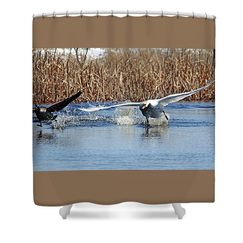 Mute Swan Shower Curtain featuring the photograph Mute Swan Chasing Canada Goose I by Debbie Oppermann