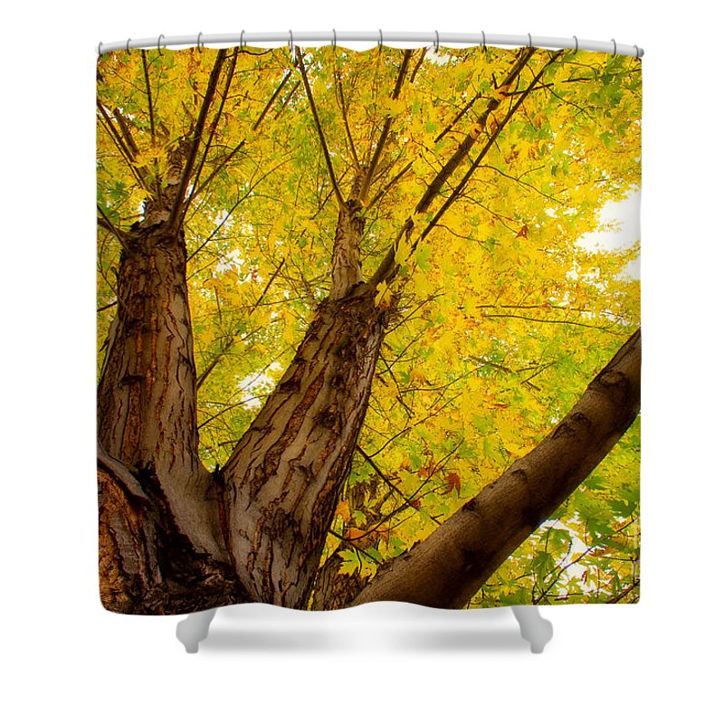 Tree Shower Curtain featuring the photograph My Maple Tree by James BO Insogna