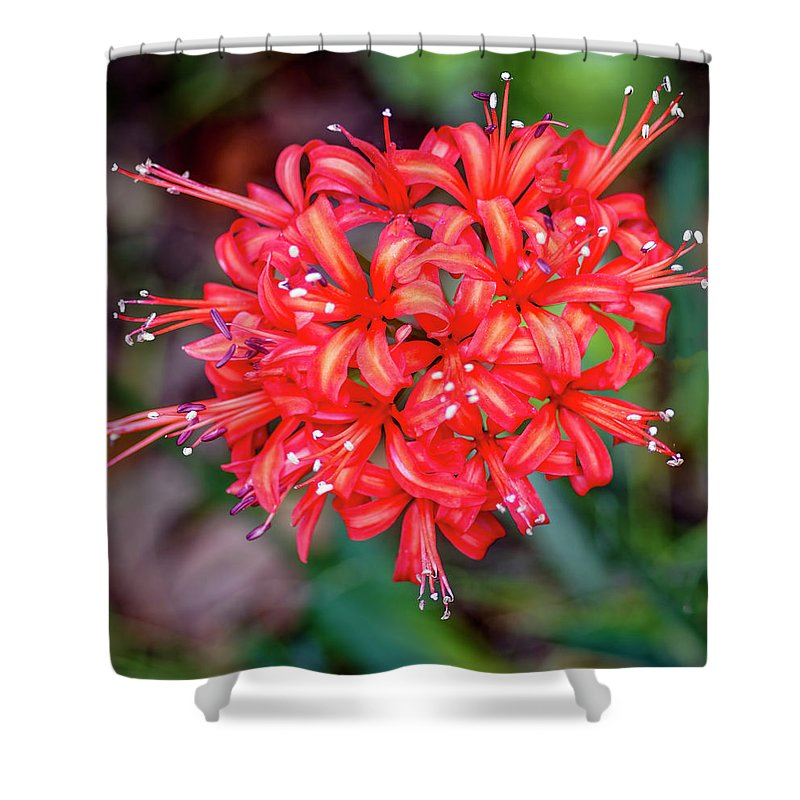 Flower Shower Curtain featuring the photograph Nerine Sarniensis - Guernsey Lily by Tony Crehan