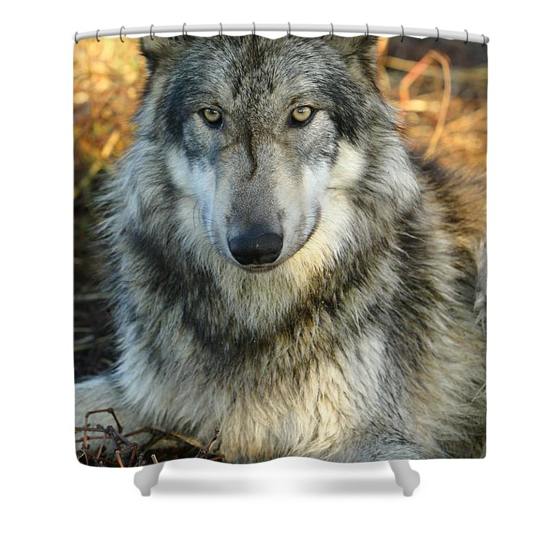 Wolf Lupine Canis Lupus Animal Wildlife Photography Photograph Shower Curtain featuring the photograph Noble Lupine by Shari Jardina