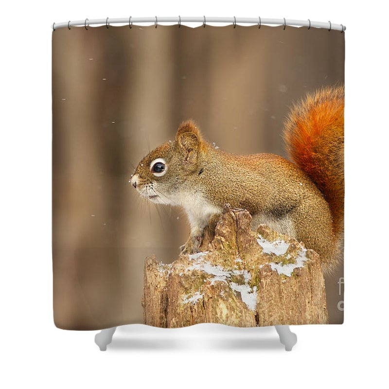 Algonquin Shower Curtain Featuring The Photograph North American Red Squirrel In Winter By Mircea Costina Photography