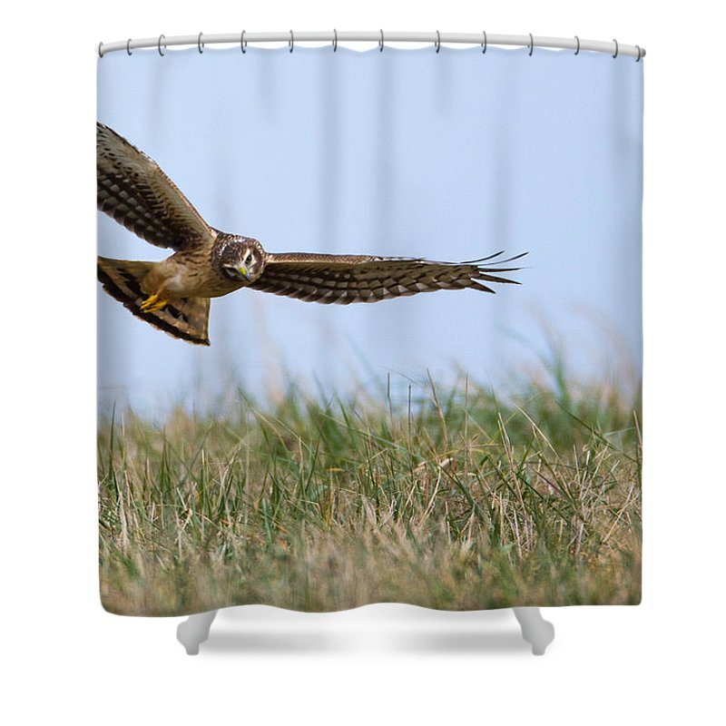 American Shower Curtain featuring the photograph Northern Harrier Hawk Scouring The Field by Jens Lambert