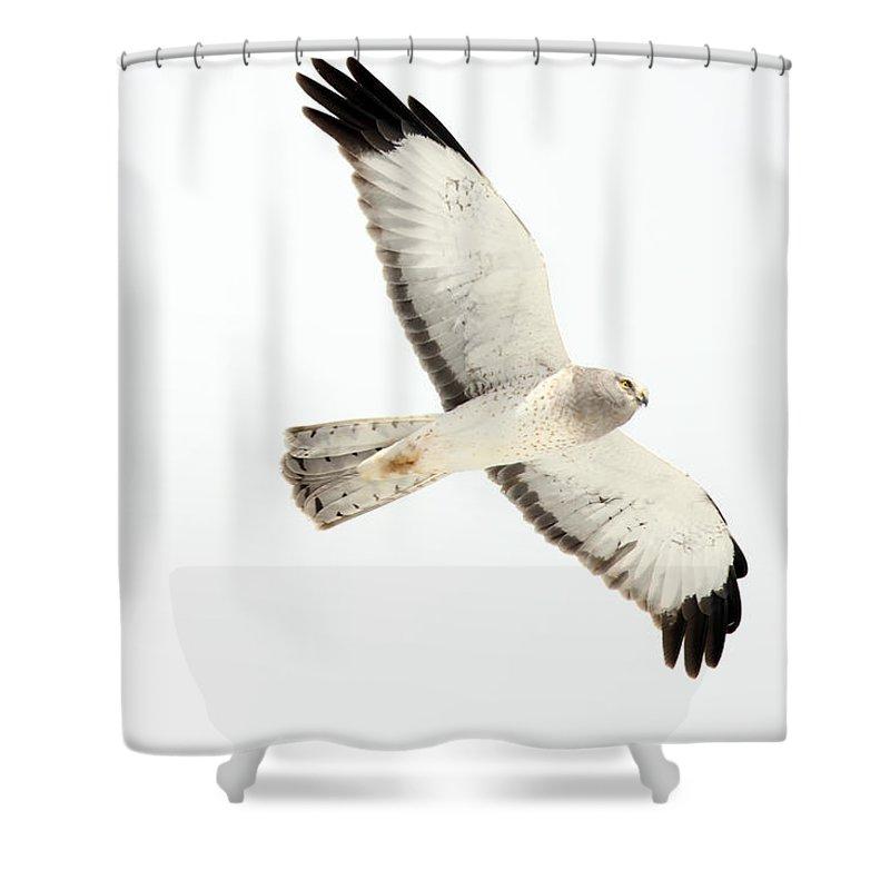 Light Shower Curtain featuring the photograph Northern Harrier Hawk, Yukon by Robert Postma