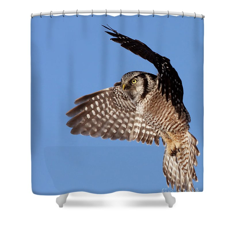 Animal Shower Curtain featuring the photograph Northern Hawk Owl by Mircea Costina Photography