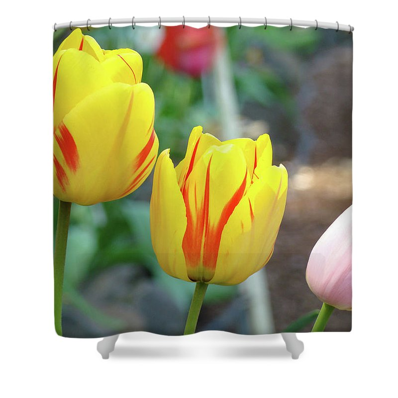 Tulip Shower Curtain featuring the photograph Office Art Prints Tulips Tulip Flowers Garden Botanical Baslee Troutman by Baslee Troutman