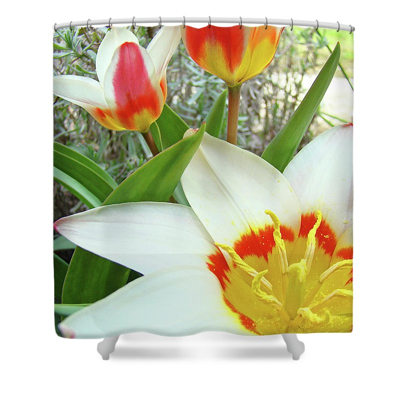 Tulip Shower Curtain featuring the photograph Office Art Tulips Tulip Flowers Giclee Art Prints Florals Baslee Troutman by Baslee Troutman