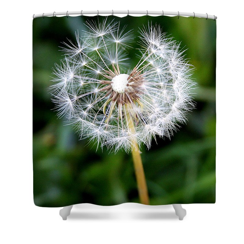 Dandylion Shower Curtain featuring the photograph One Dandy Lion by Chris Brannen