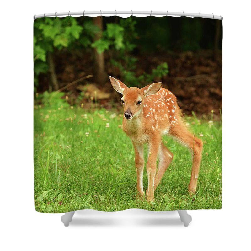 Fawn Deer Whitetail Deer Spots Grass Newborn Spring Summer Wildlife Nature Photography Photograph Walking Shower Curtain featuring the photograph One Step At A Time. by Gary Walker