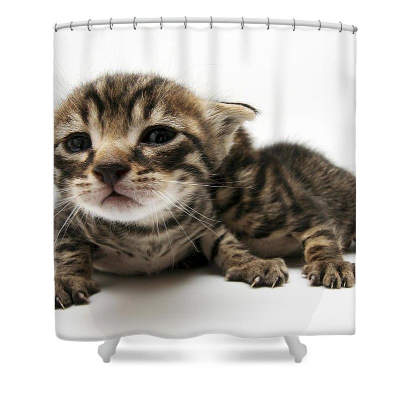 Cat Shower Curtain featuring the photograph One Week Old Kittens by Yedidya yos mizrachi