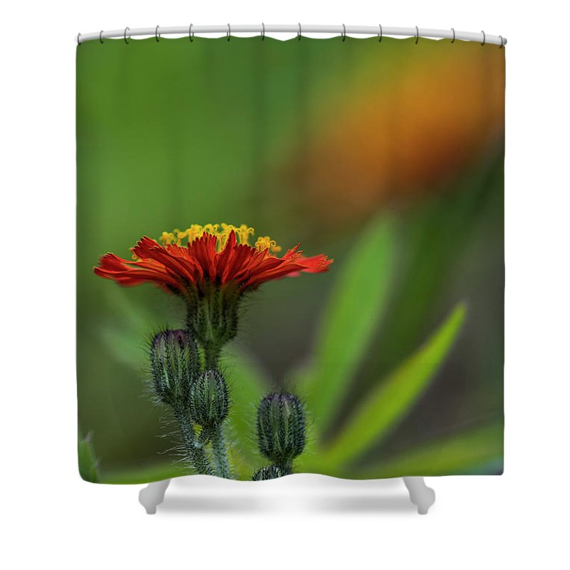Astoria Shower Curtain featuring the photograph Orange Agoseris by Robert Potts