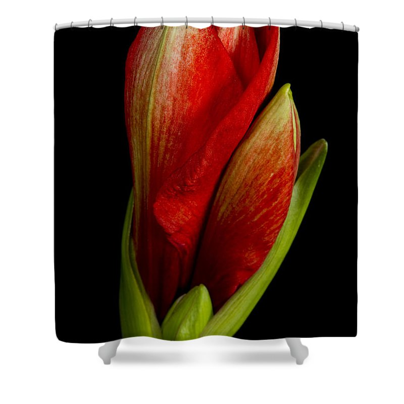 Amaryllis Shower Curtain featuring the photograph Orange Amaryllis Bloom by James BO Insogna