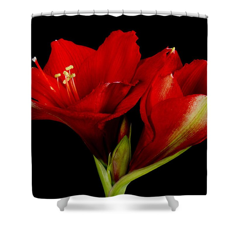 Amaryllis Shower Curtain featuring the photograph Orange Amaryllis Hippeastrum 12-25-2010 by James BO Insogna