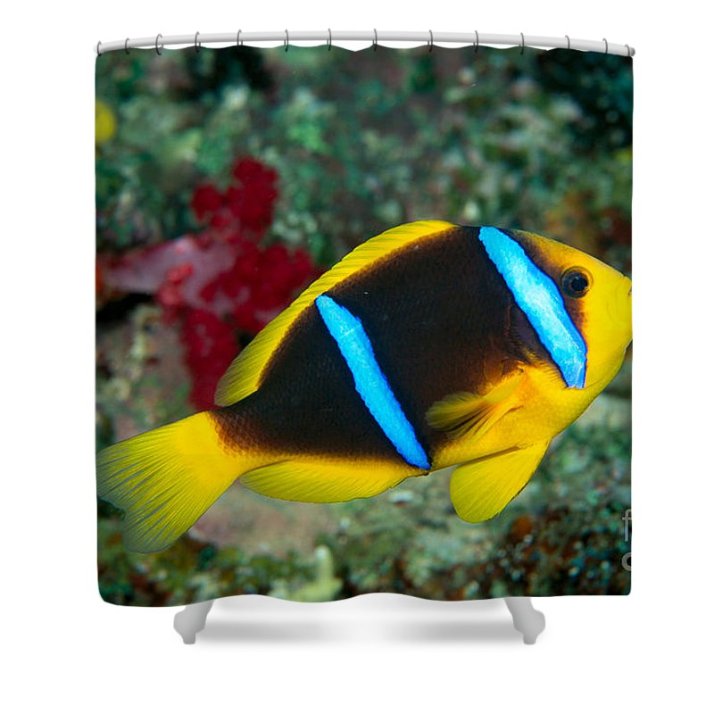 Amphiprion Shower Curtain featuring the photograph Orange-fin Anemonefish by Dave Fleetham - Printscapes