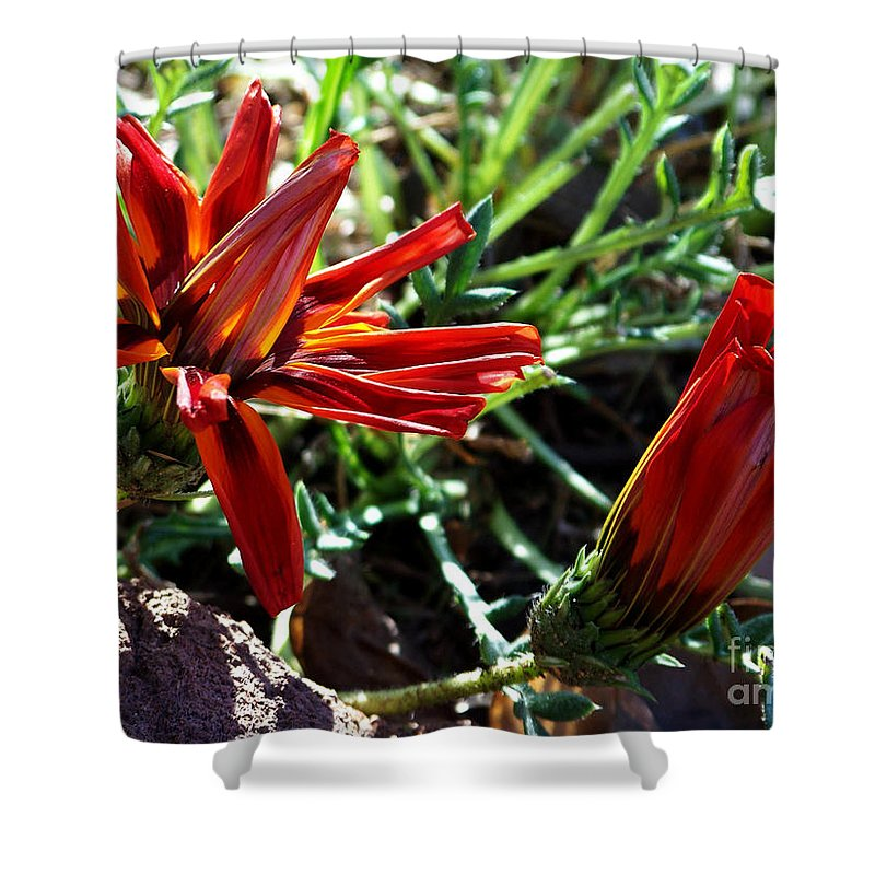 Gazania Shower Curtain featuring the photograph Orange Power by Kathy McClure