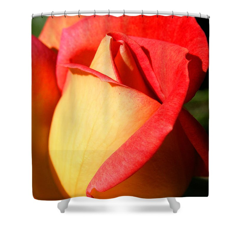 Orange Rosebud Shower Curtain featuring the photograph Orange Rosebud by Ralph A Ledergerber-Photography