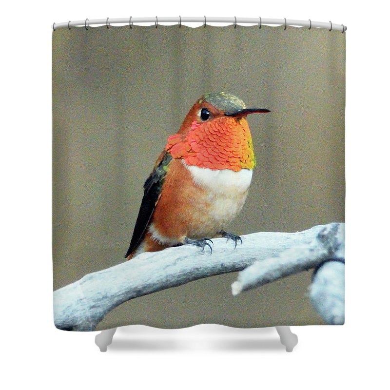 Wildlife Humming Bird Orange Rufus Shower Curtain featuring the photograph Orange Rufus by Evelyn Sanders