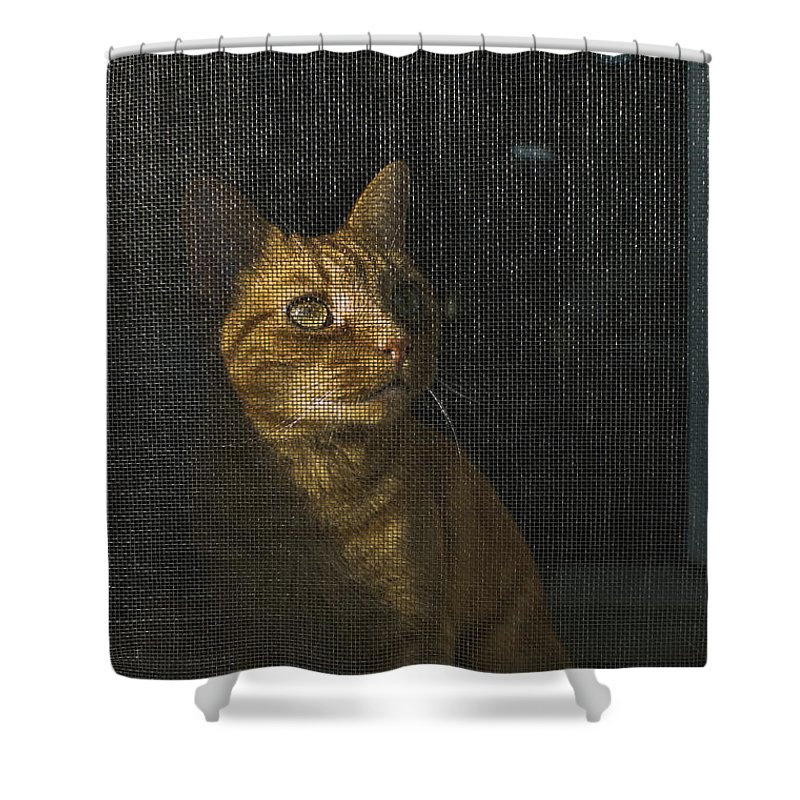 Photography Shower Curtain featuring the photograph Orange Tabby Cat Looking by Todd Gipstein