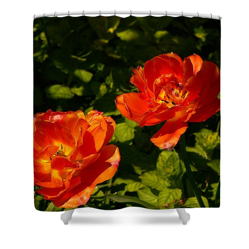 'orange Tulips' Shower Curtain featuring the photograph Orange Tulips In My Garden by Helmut Rottler