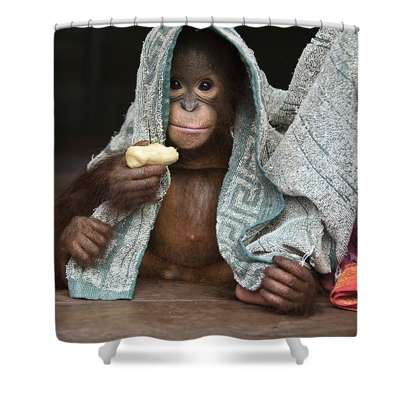 00486841 Shower Curtain featuring the photograph Orangutan 2yr Old Infant Holding Banana by Suzi Eszterhas