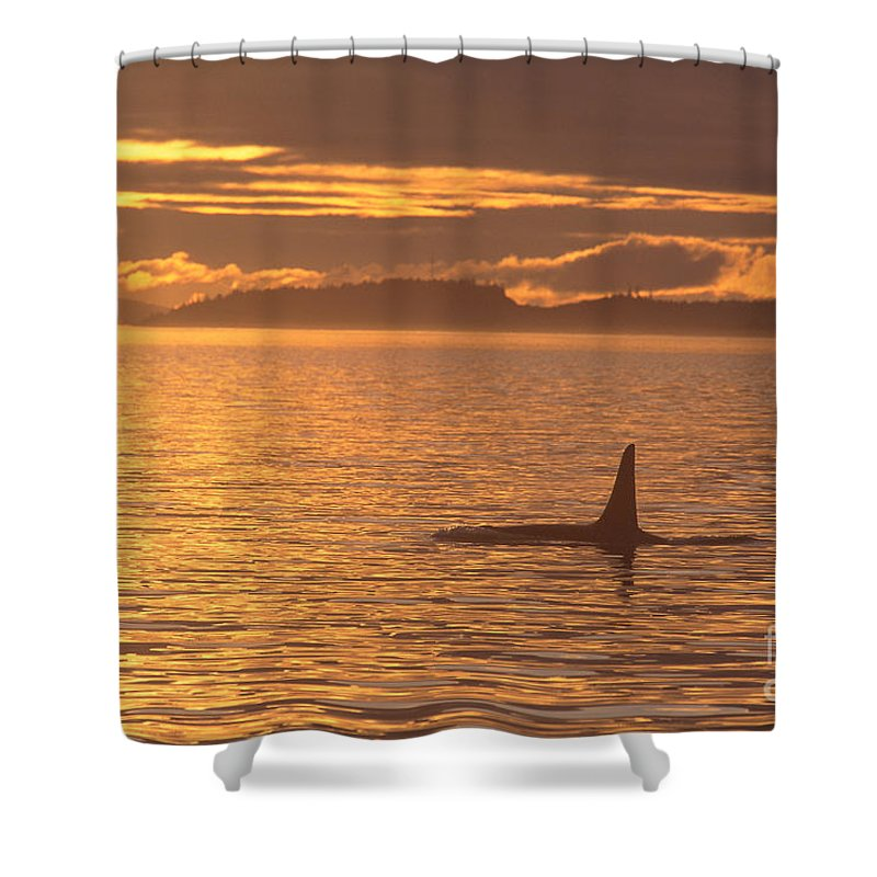 Animal Art Shower Curtain featuring the photograph Orca Killer Whale by John Hyde - Printscapes