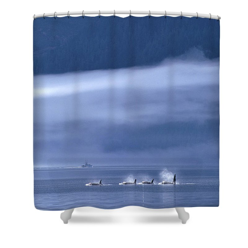 Animal Art Shower Curtain featuring the photograph Orca Killer Whales by John Hyde - Printscapes