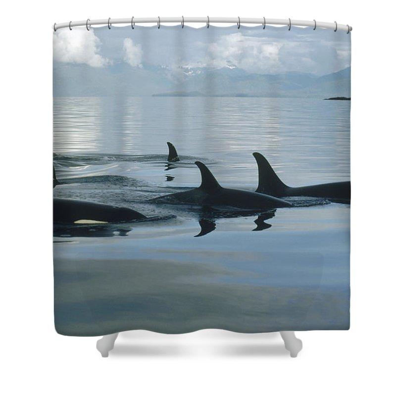 00079478 Shower Curtain Featuring The Photograph Orca Pod Johnstone Strait Canada By Flip Nicklin
