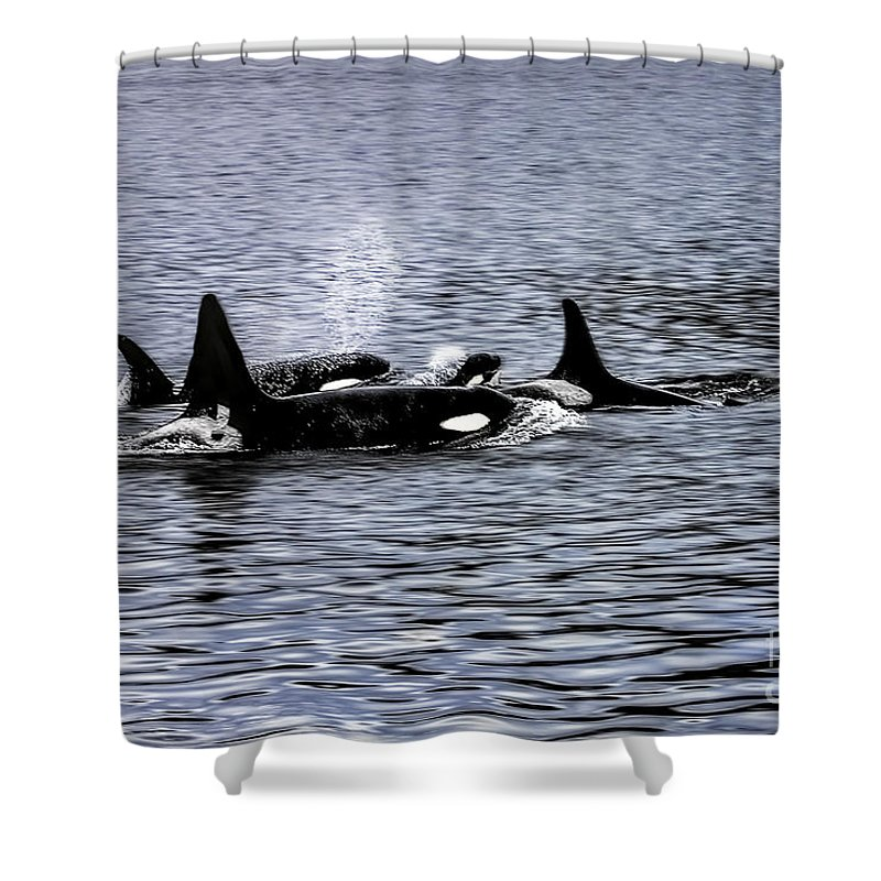 Orca Shower Curtain featuring the photograph Orcas, The Killer Whales by Kay Brewer