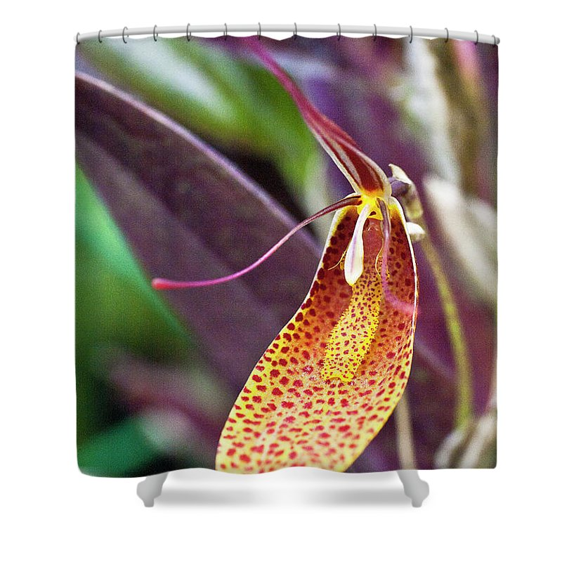 Orchid Shower Curtain featuring the photograph Orchid Flower - Restrepia Radulifera by Heiko Koehrer-Wagner
