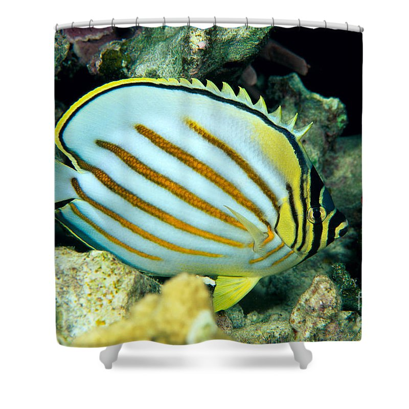 Animal Art Shower Curtain featuring the photograph Ornate Butterflyfish by Dave Fleetham - Printscapes