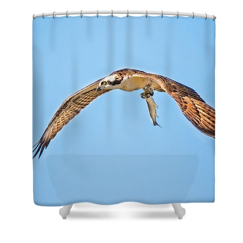 Ospre Carrying Lunch Shower Curtain featuring the photograph Ospre Carrying Lunch by Joe Granita