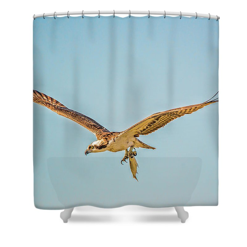 Ospre Carrying Lunch Shower Curtain featuring the photograph Ospre With Lunch by Joe Granita