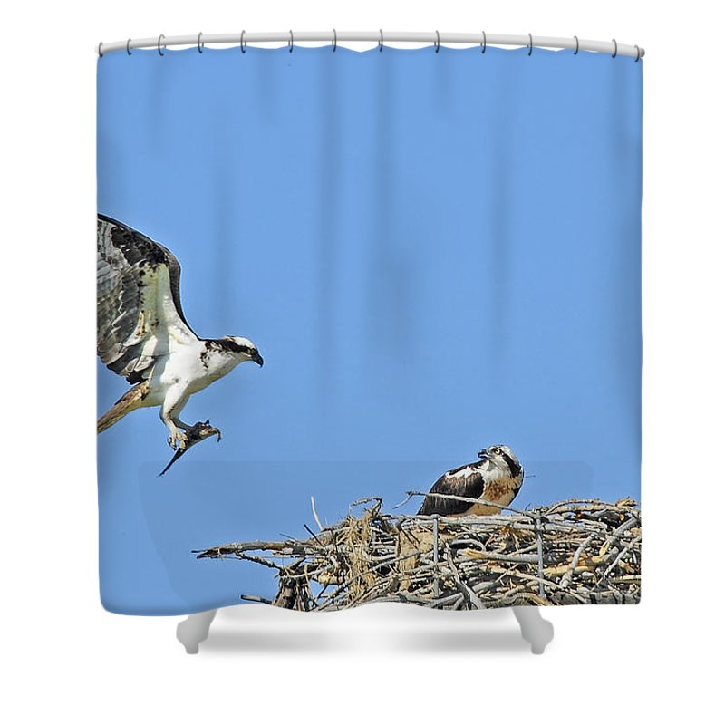 Osprey Shower Curtain featuring the photograph Osprey Brings Fish To Nest by Gary Beeler