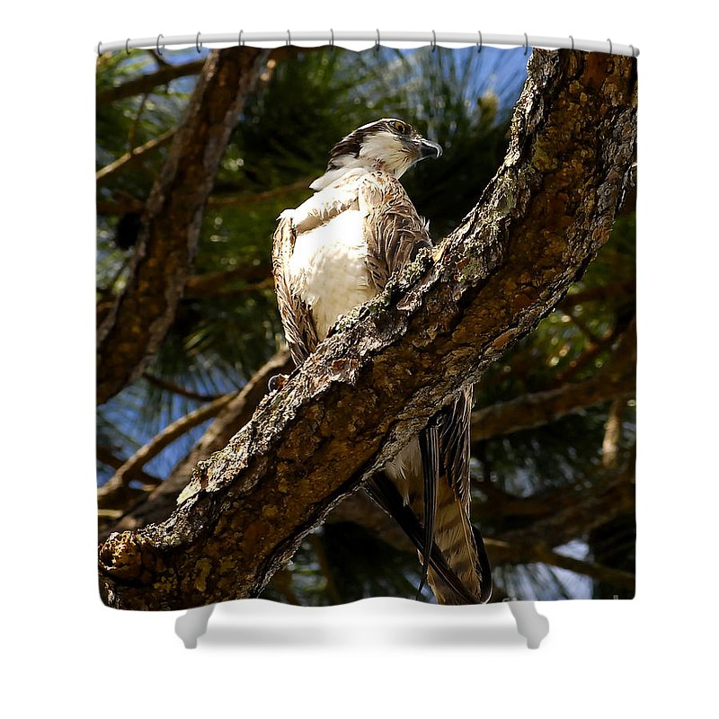 Osprey Shower Curtain featuring the photograph Osprey Hunting by David Lee Thompson