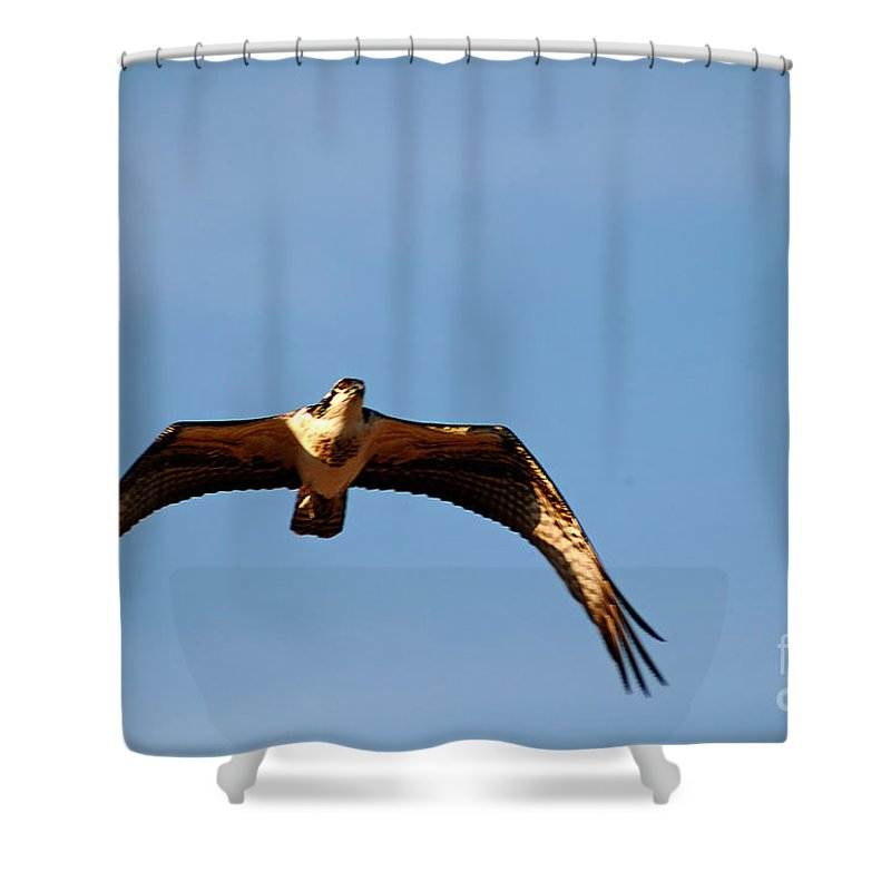 Clay Shower Curtain featuring the photograph Osprey In Flight by Clayton Bruster