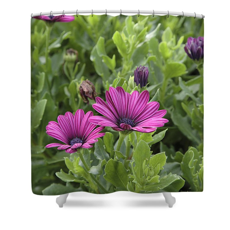 New England Shower Curtain featuring the photograph Osteospermum Flowers by Erin Paul Donovan