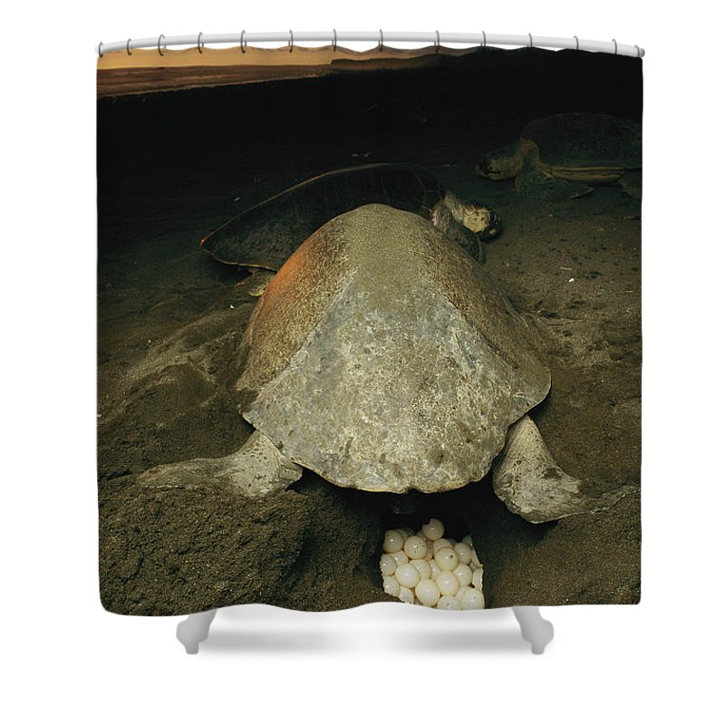 Animals Shower Curtain featuring the photograph Pacific Or Olive Ridley Turtle Laying by Steve Winter