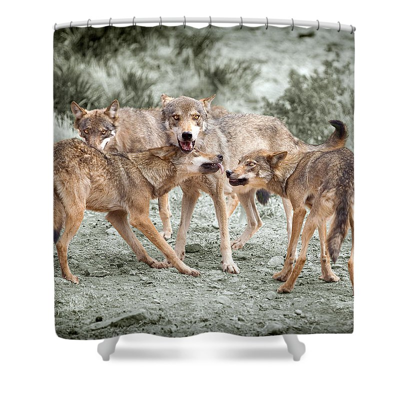 Wolf Shower Curtain featuring the photograph Pack Dispute by Mal Bray