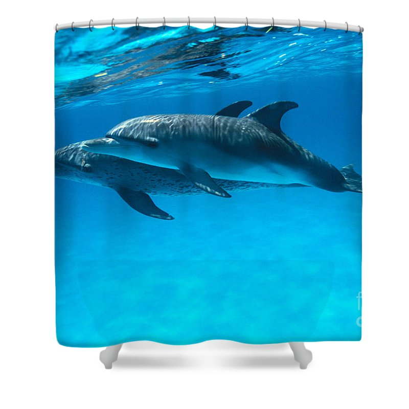 Animal Art Shower Curtain featuring the photograph Pair Of Spotted Dolphins by Ed Robinson - Printscapes