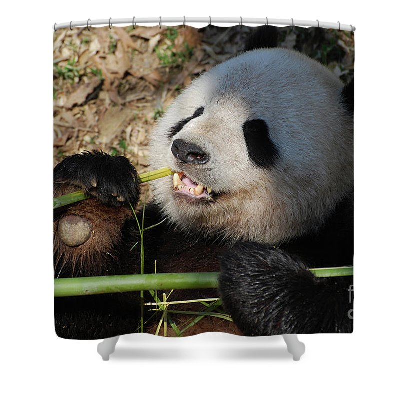 Panda Shower Curtain Featuring The Photograph Bear Holding Bamboo In His Paws While Eating By