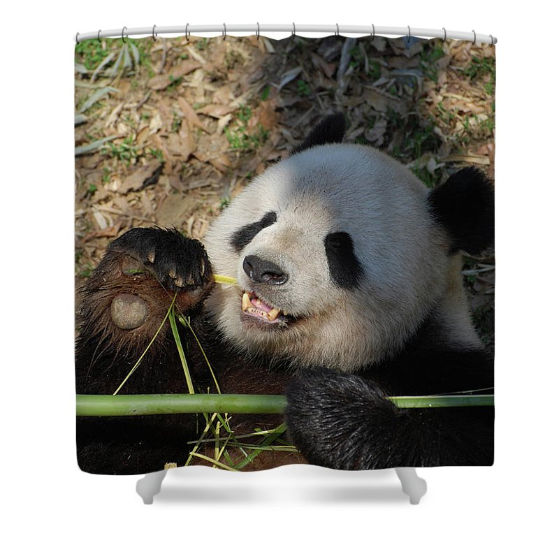 Panda Shower Curtain featuring the photograph Panda Bear Laying On His Back And Eating Bamboo by DejaVu Designs