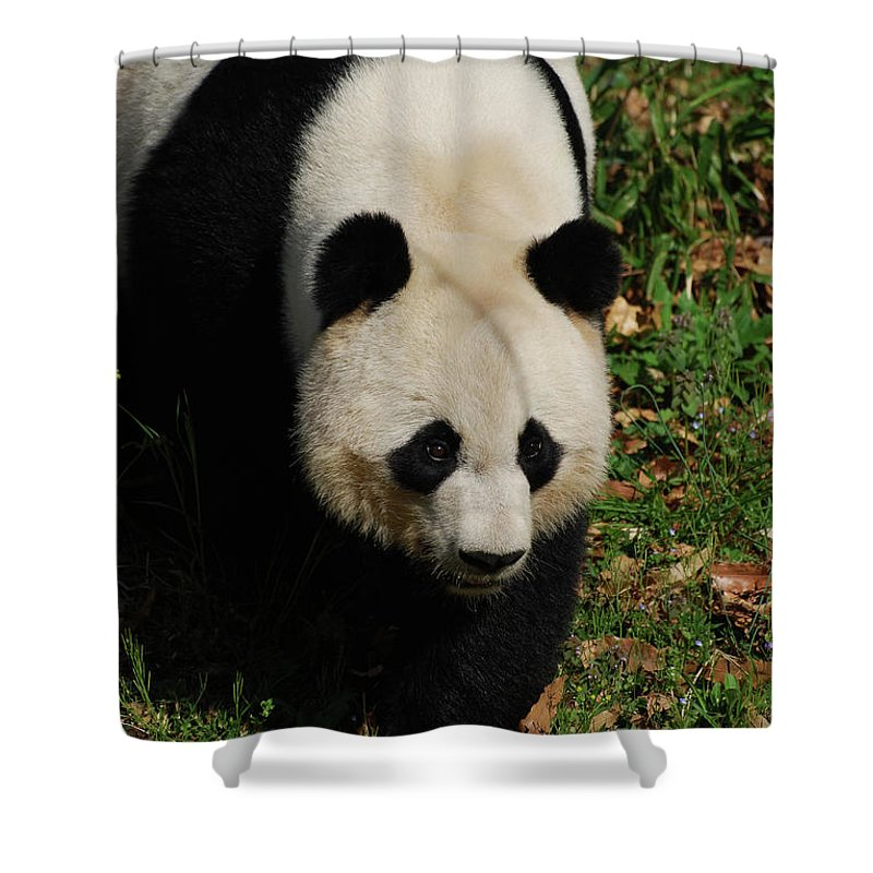 Panda Shower Curtain featuring the photograph Panda Bear Walking Forward In A Large Field by DejaVu Designs