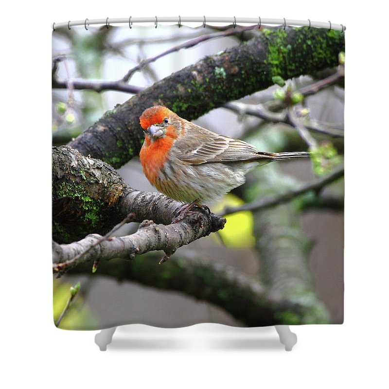 House Finch Shower Curtain featuring the photograph Partial-migrator House Finch by Herbert L Fields Jr