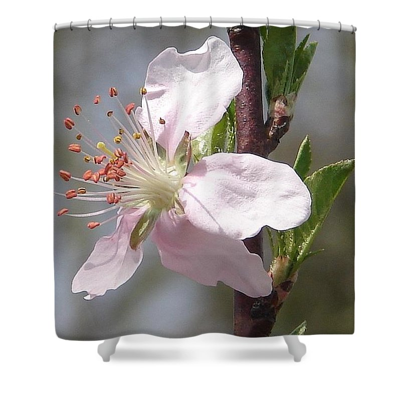 Pink Tree Branch Green Leaves Shower Curtain featuring the photograph Peach Tree 2 by Luciana Seymour