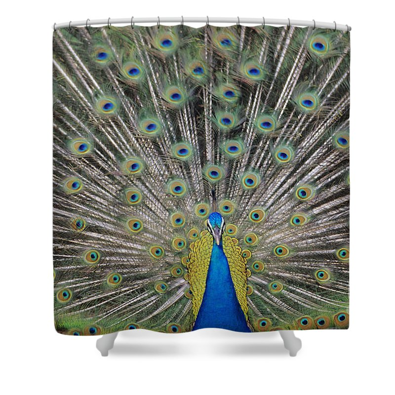 Admire Shower Curtain featuring the photograph Peacock Display by William Waterfall - Printscapes