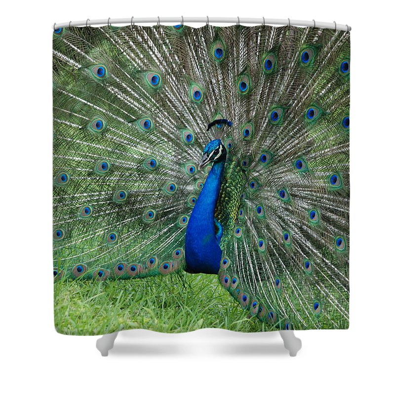 Peacock Shower Curtain featuring the photograph Peacocks Glory by Rob Hans