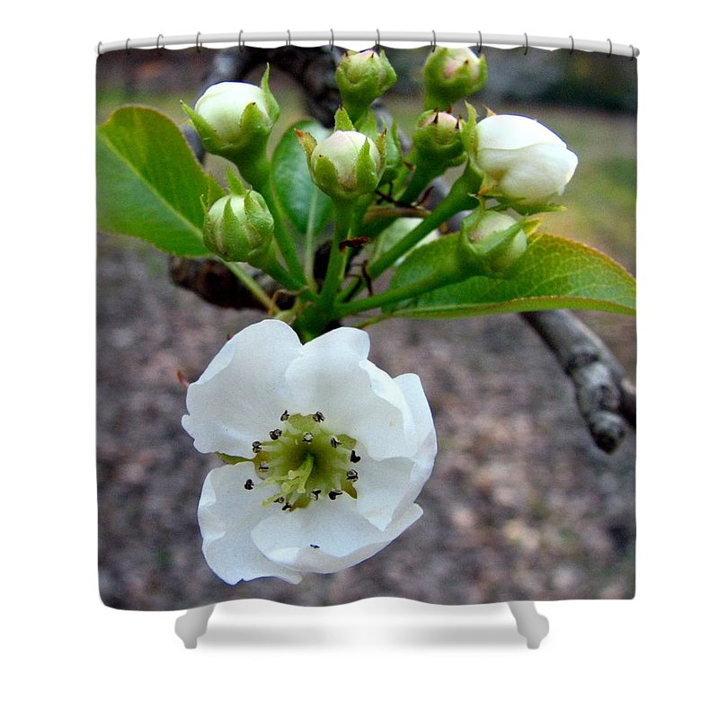 Pear Tree Blossum Shower Curtain featuring the photograph Pear Tree Blossom 3 by J M Farris Photography