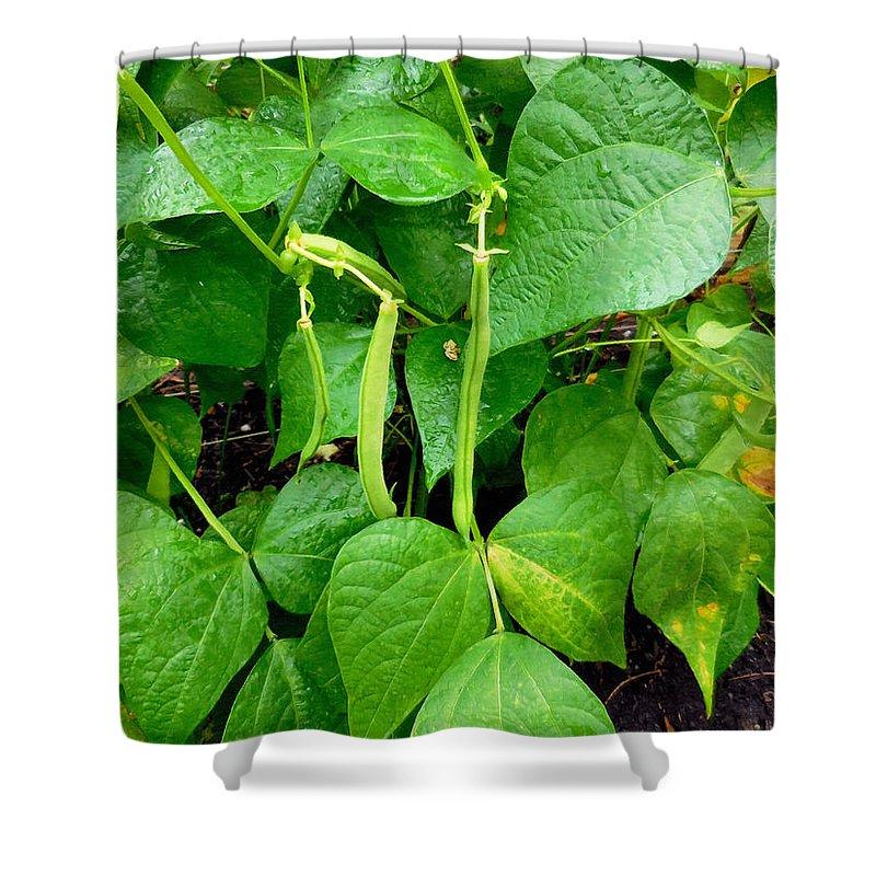 Peas Growing On The Farm Shower Curtain featuring the painting Peas Growing On The Farm 1 by Jeelan Clark