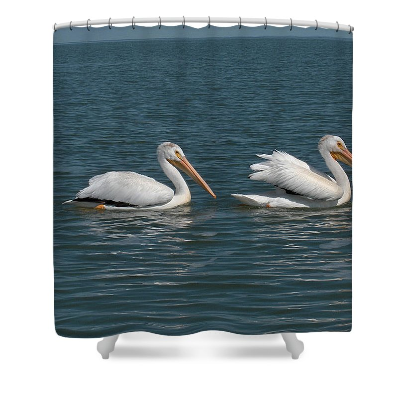Wild Animals Birds Nature Lake Water Pelicans Shower Curtain featuring the photograph Pelicans by Andrea Lawrence
